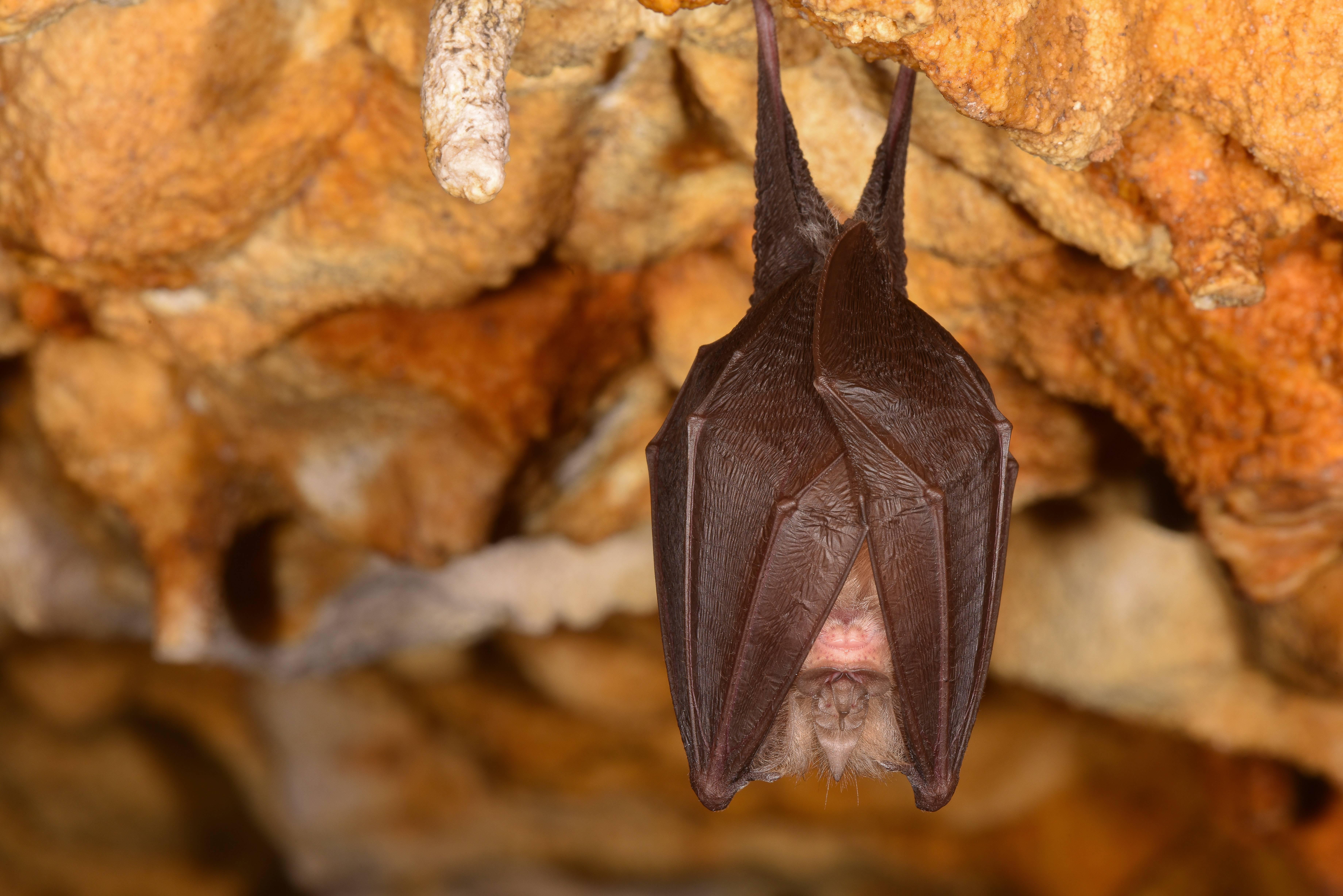 Chauve souris Grotte de Thaïs